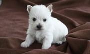 One Year Health Guarantee Westie Terrier Puppies for Sale