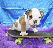 English bulldog puppies available and ready to go