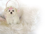 Memphis is a male white Maltese puppy.