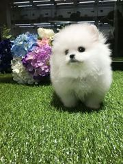 4TG friendly,  and sociable Pomeranian For Sale CALL 07031957695