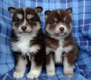 EWY32 checked friendly,  and sociable Pomsky For Sale 07031957695