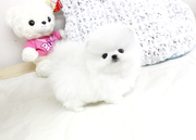FDT Stunning XXS size tiny uncomplicated,  gentle,  Pomeranian For Sale