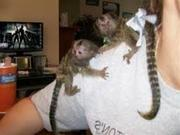 NDFE Adorable Twin Pygmy Marmoset and Capuchin CALL 07031956739