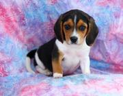 Beautiful,  friendly,  and playful,  Beagle Puppies for Sale