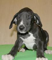 These handsome Great Dane puppies will make wonderful pets and kids
