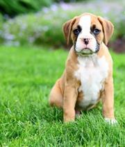 These hansome,  well built Boxer pups are family