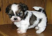 Charming Shih Tzu Puppies for sale