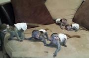 KEWNB Pairs Capuchin pygmy marmoset available 07031956739