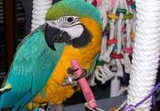 please adopt my macaw birds