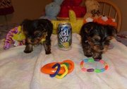 Cute Teacup Yorkies Puppies Ready