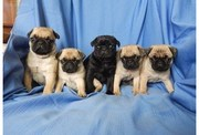 Fawn & Black Pug Puppies Ready